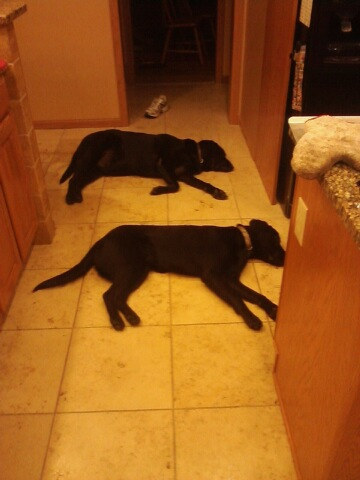 Two dogs in kitchen