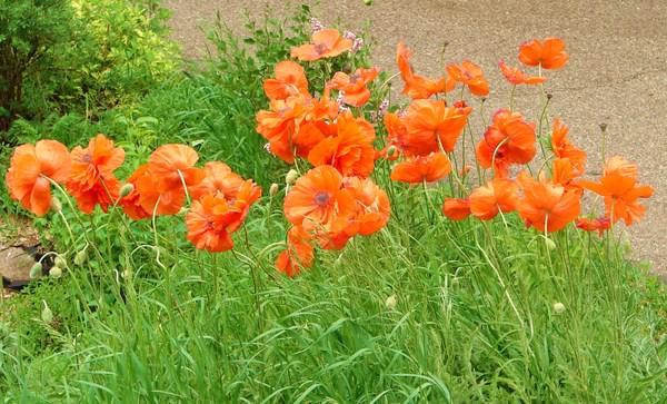 Poppies_2